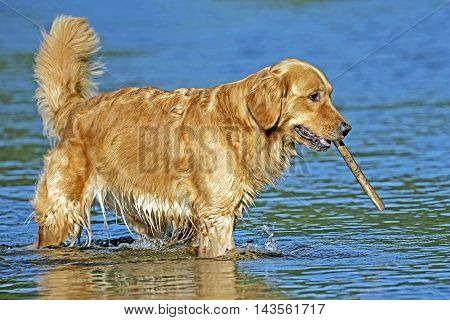 Golden Retriever in water playing with stick