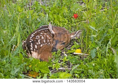 Mule deer or Blacktail Deer Fawn resting in grass