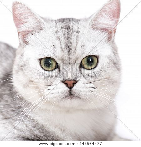 Close up of American short hair cat on white background isolated