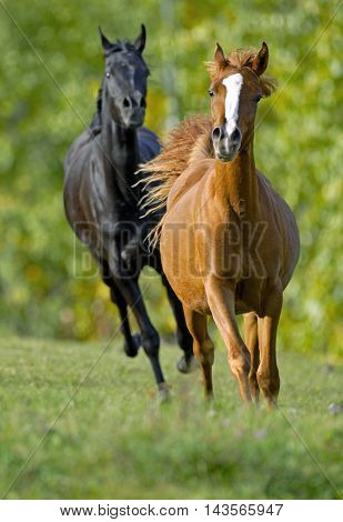 Two Arabian Horses galloping together at summer pasture