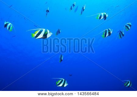 Fish in blue sea (Bannerfish)