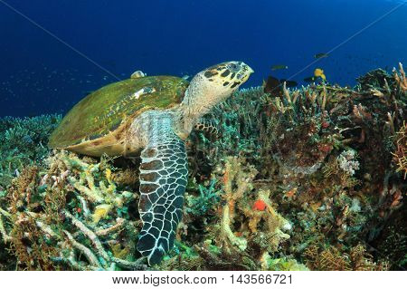 Hawksbill Sea Turtle ress on coral reeft