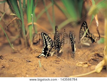 Butterflies flock in the grass