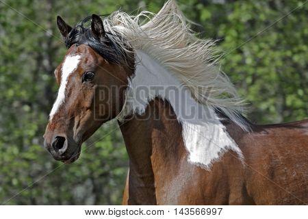 Pinto Arabian Gelding galloping in meadow close up