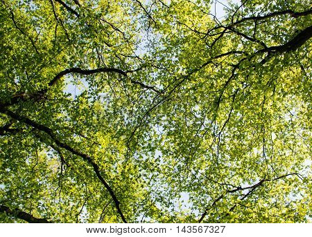 background of spring tree crown summer  sunny