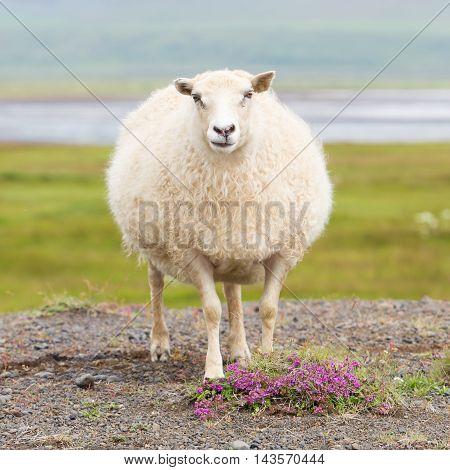 Single Icelandic Sheep