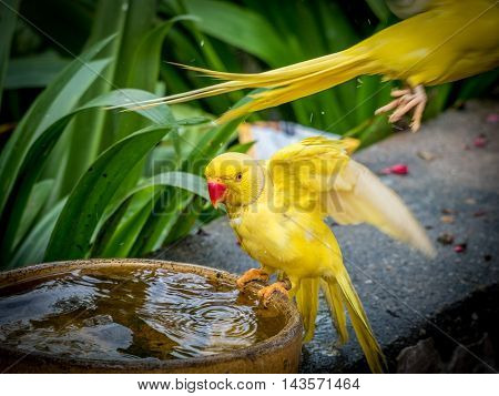 Colorful yellow parrot Sun Conure Aratinga solstitialis standing on the bowl