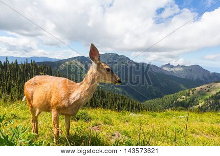Deer in green forest, USA