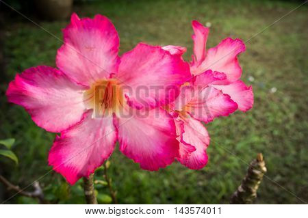 Close up Red Desert Rose Or Impala Lily Or Mock Azalea Flower.
