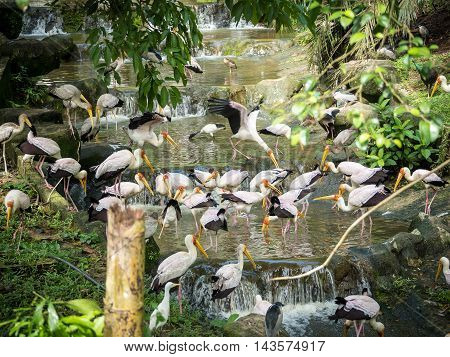 Standing flock of Yellow Billed Storks in the water