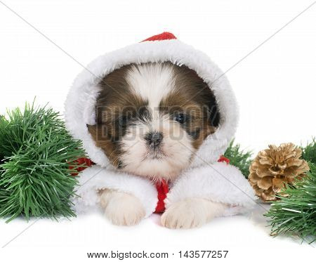 dressed puppy shih tzu in front of white background