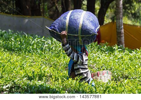 Coonoor , Tamil Nadu, India, March 22, 201 Unidentified woman collect tea and carrying bag on her head