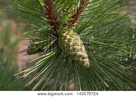 Pine branch. Conifer, pinecone tree nature forest
