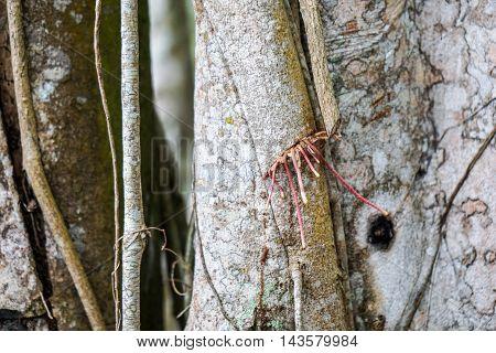 Banyan tree growing in the tropical Cuba