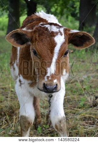 agricultural animal calf. animal calf grazed in a meadow