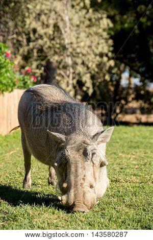 Warthog In Garden