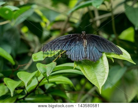 Black butterfly Great Mormon Papilio memnon butterfly of Thailand