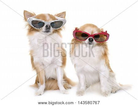 purebred chihuahuas and glasses in front of white background