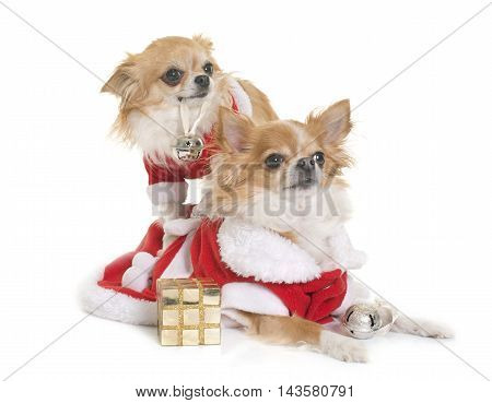 sant claus chihuahuas in front of white background