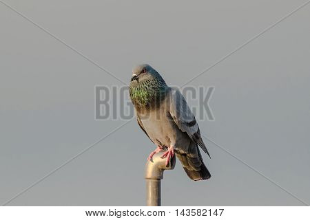 A closeup shot of male Rock Pigeon. Portrait of Rock Pigeon perched in breeding season.