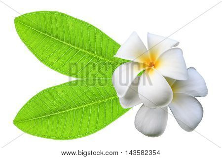 White plumeria flowers and green leaf isolated on a white background.
