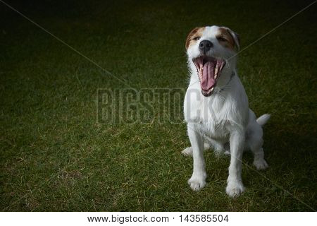 Jack Russell Parson Terrier pet dog yawning on green grass