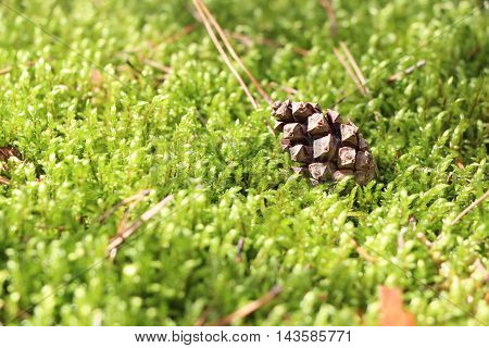 The green forest moss and pine cone close-up nature background
