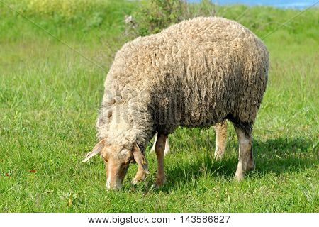 Sheeps grazing and feeding in a field.