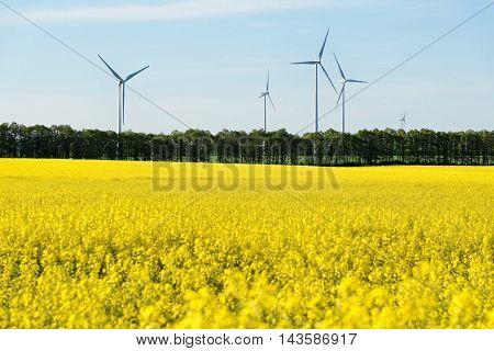 Rape yellow field with giant windmills backwards