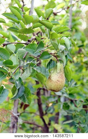 Pear fruit on the tree in the fruit garden