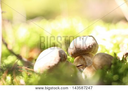 Three little ceps grow in the green moss in sun rays close-up photo