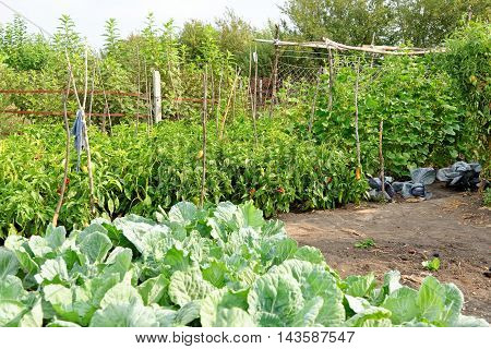 A small private vegetable garden. Eco food production.