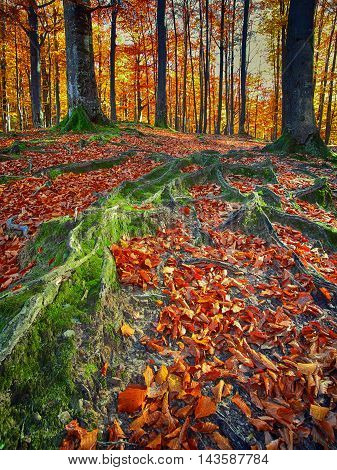 Landscape with the autumn forest. Strong roots of old trees. Fallen leaves. Sunset time