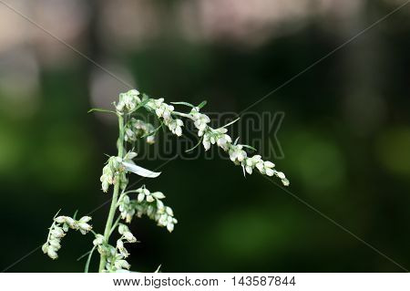 Blossoms of the common wormwood (Artemisia vulgaris)