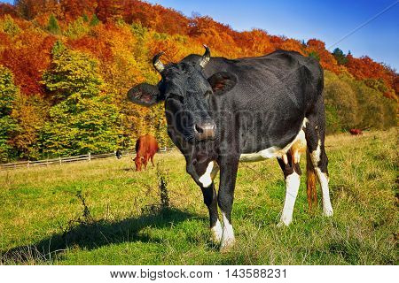 Cows Grazing in a pasture. A scenic autumn farmland landscape. Black cow at foreground