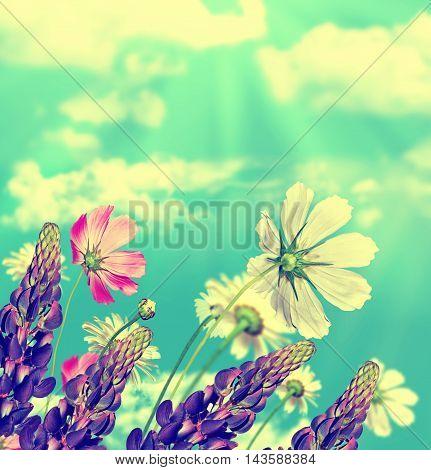 daisy flowers on blue sky background. lupine