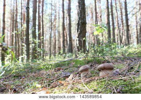 Growing pair of ceps in the moss forest boletus in the sun rays close-up photo