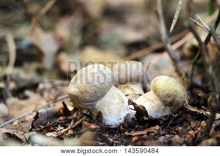 Three little ceps growing in the deciduous forest close-up photo