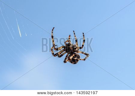Cross Spider (araneus Diadematus) - Garden Spider On The Spiderweb.