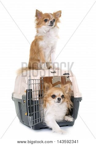 purebred chihuahuas and kennel in front of white background