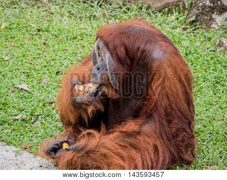 Portrait of a Large Male Orangutan eating bread