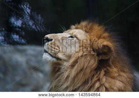 Portrait of the lion sniffing close up