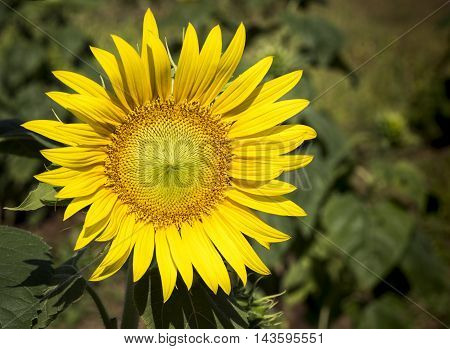 Sunflower Close Up Showing Petal And Flower Structure And Design