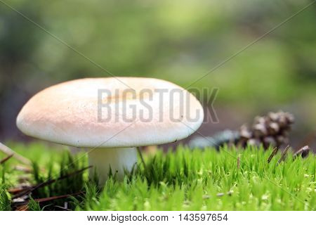 The beautiful russula grow in green moss forest close-up photo