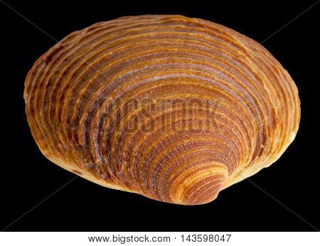 macro shot of a red sea shell in black back
