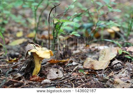 The beautiful chanterelle growing in the deciduous forest