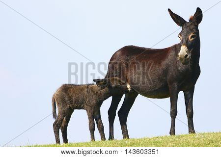 Black baby donkey suck mother on the meadow
