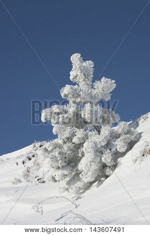 slightly frosted pine tree on top of mountain