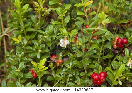 Lingonberry Ripening In The Moss