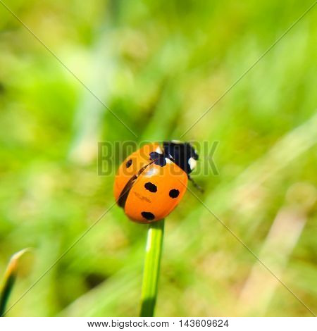 Ladybug on blade of grass